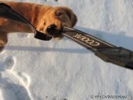 Kinta, golden retriever, snow