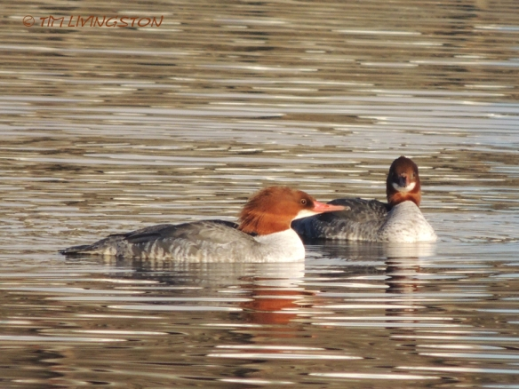 Merganser-Common