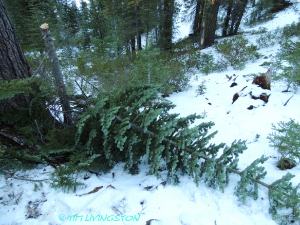 red fir, silver tip, Christmas tree