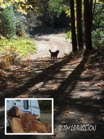 camping, camp, forest golden retriever