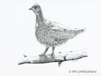 Dusky grouse, blue grouse, grouse, birding, pen and ink, nature