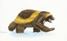 Buddy the Wayward Wolverine, wolverine, watercolor, watercolour, art, childrens books