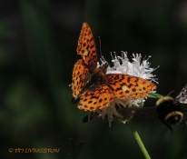 Butterfly, bumblebee, nature, photography, insects