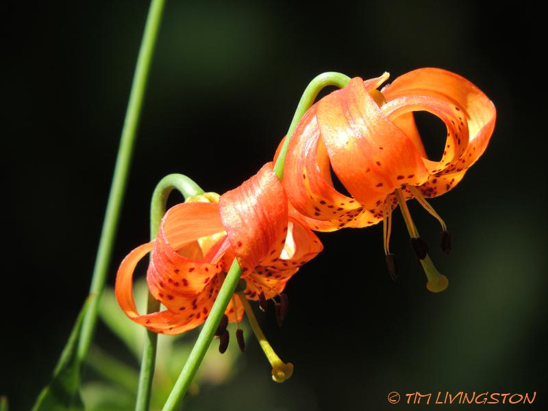 Tiger lily, Trinity mountains, wildflowers