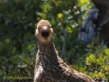 Blue grouse, dusky grouse, grouse, photography, nature wildlife, scenic