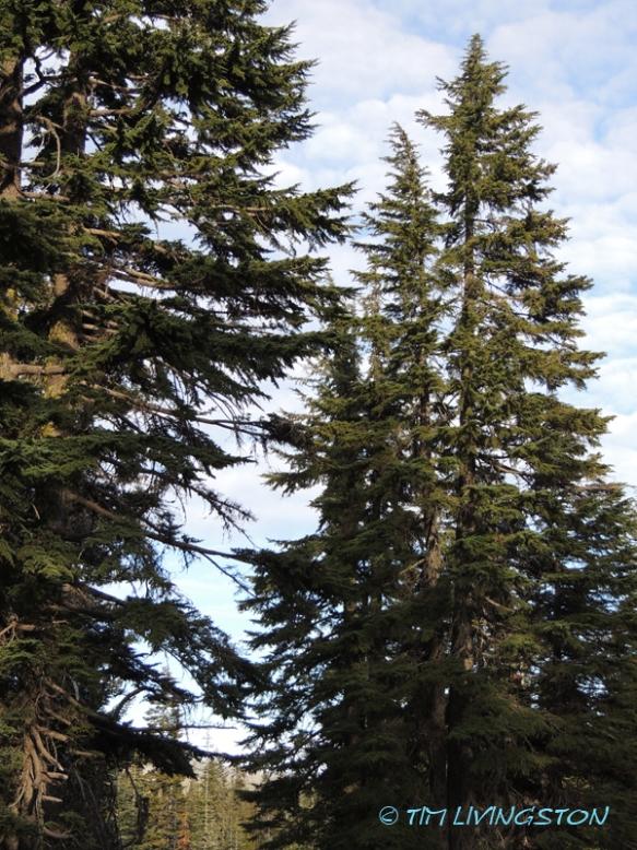 mountain hemlock, tsuga mertensiana, hemlock, forestry, timber