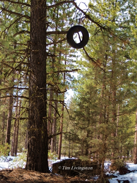 ponderosa pine, old tire, humor, caption