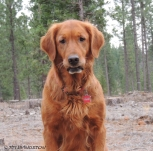 forestry friday, friday, golden retriever