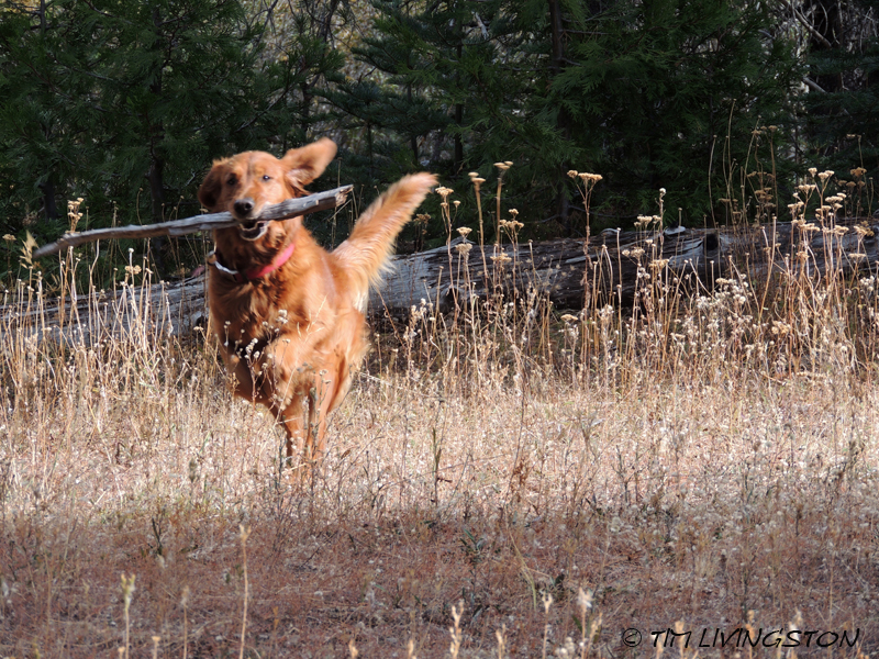 golden retriever, forestry
