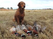 Blitz, pheasants, hunting, pheasant hunting