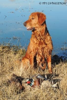 Golden retriever, Blitz, pheasants
