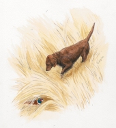 watercolor, watercolour, pen and ink, golden retriever, pheasant, hunting