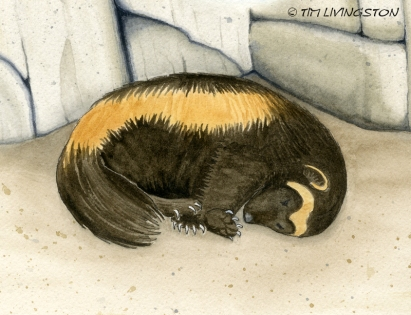 Buddy, The Wayward Wolverine, Buddy and the Magic Chicken Tree, watercolor, watercolour, wolverine