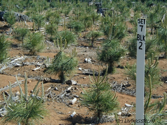 forestry, ponderosa pine, forestry research