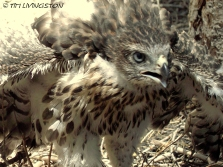 Forestry, Northern Goshawk, goshawk, protection