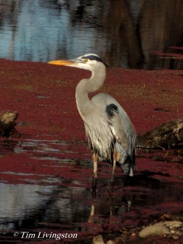 heron, great blue heron, blue heron, wildlife, sawmill