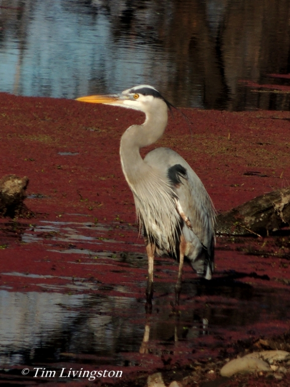 heron, great blue heron, blue heron, wildlife, sawmill