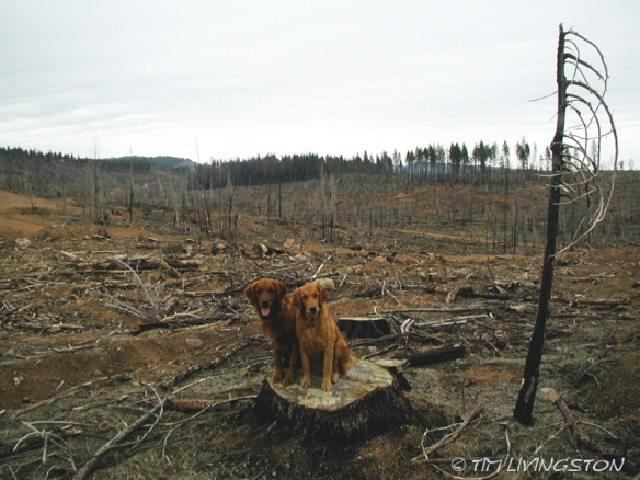 Fire restoration, forestry, seedlings, golden retrievers