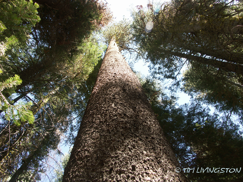 Lodgepole pine, forestry