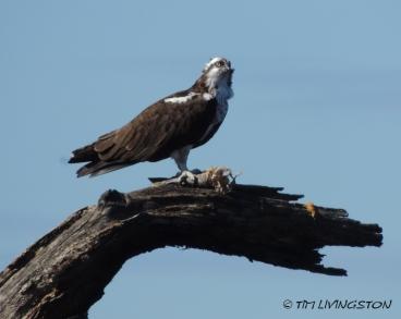 osprey, sawmill, forestry