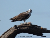 Osprey, wildlife, sawmill, photography, nature