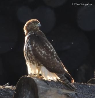 red tail hawk, red tailed hawk, log, sawmill