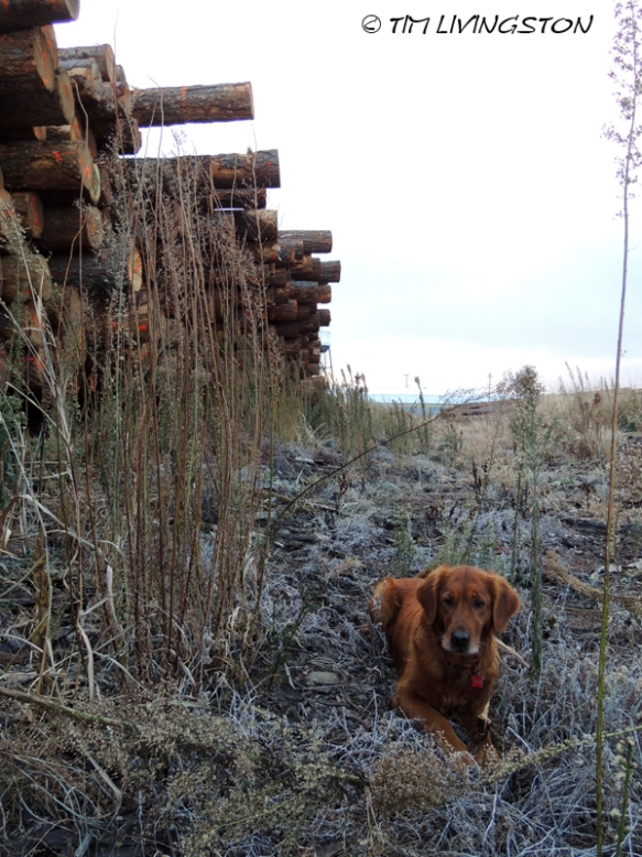 golden retriever, logs, log deck, Blitz