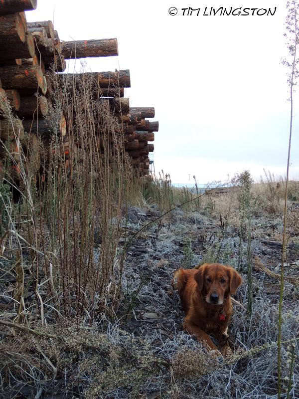 golden retriever, logs, log deck, Blitz