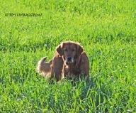 Blitz, golden retriever, dog, photography