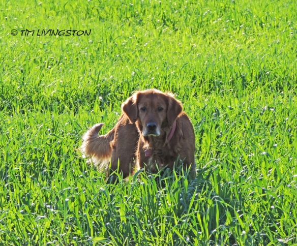 Blitz, golden retriever, dog, photography