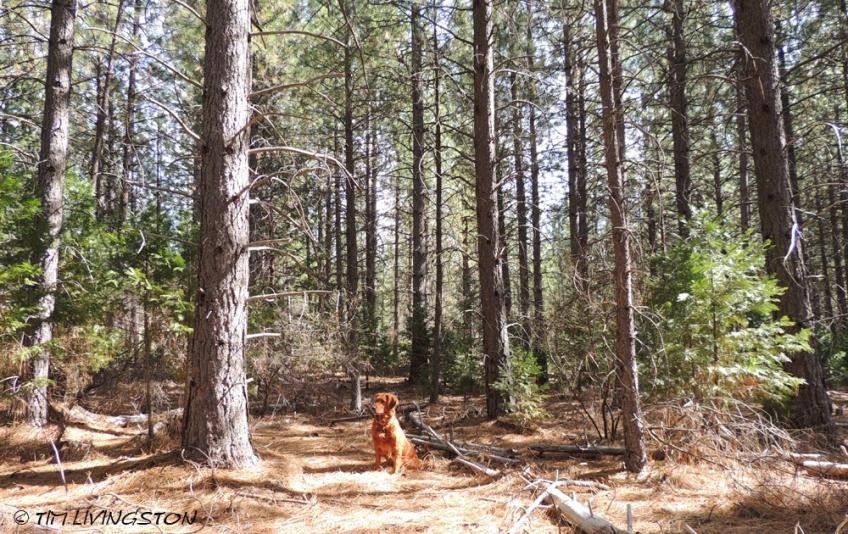 Forest, growth, golden retriever, log deck