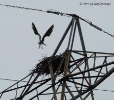 osprey, breeding, nature, wildlife, photography