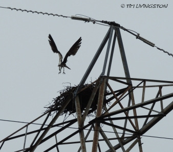 osprey, breeding, nature, wildlife, photography