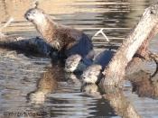 Otter, photography, wildlife, nature