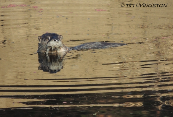 Otter, photography, wildlife, nature
