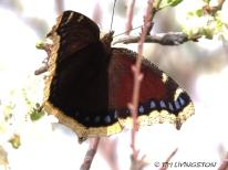 Pipevine Swalllowtail, butterfly, butterflies, Mourning Cloak Butterfly