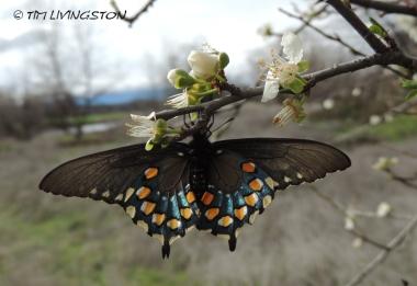 Pipevine Swalllowtail, butterfly, butterflies