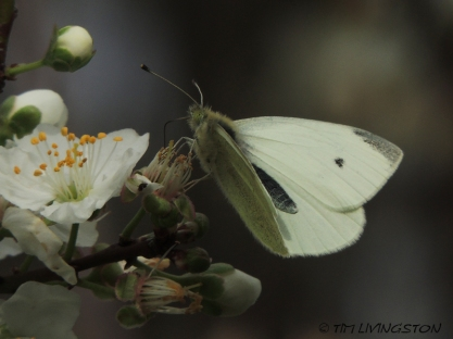 Pipevine Swalllowtail, butterfly, butterflies, white margined butterfly