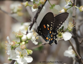 Pipevine Swallowtail, Spring