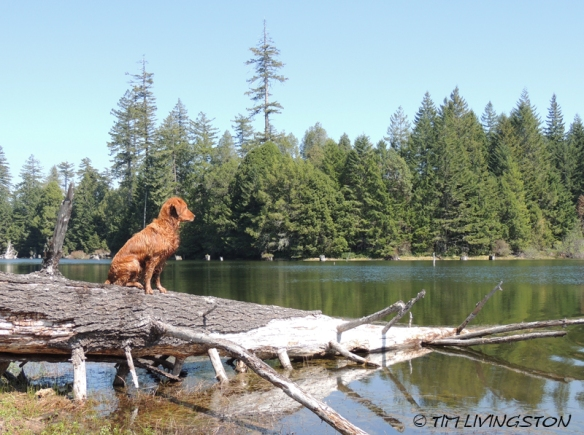 Douglas-fir, Lake Prairie, Blitz, Golden Retriever, forest, forestry