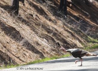 turkey, Rio Grande turkey, turkey woods