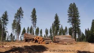 logs, log deck, Doughla-fir, ponderosa pine, sugar pine, incense cedar, white fir