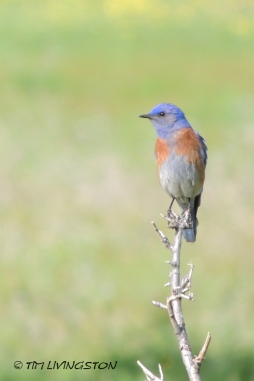 bluebird, western blubird
