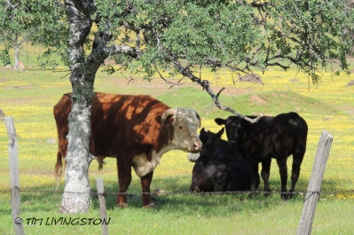 cattle, cows, bull