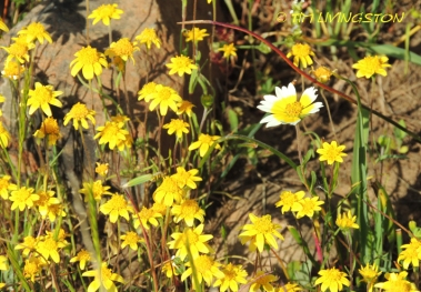 goldfields, tidy tips, wildflowers, nature photography
