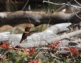 rufous hummingbird, indian paintbrush