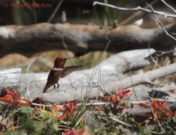 rufous hummingbird, indian paintbrush