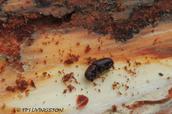 adult red turpentine beetle, Dendroctonus valens