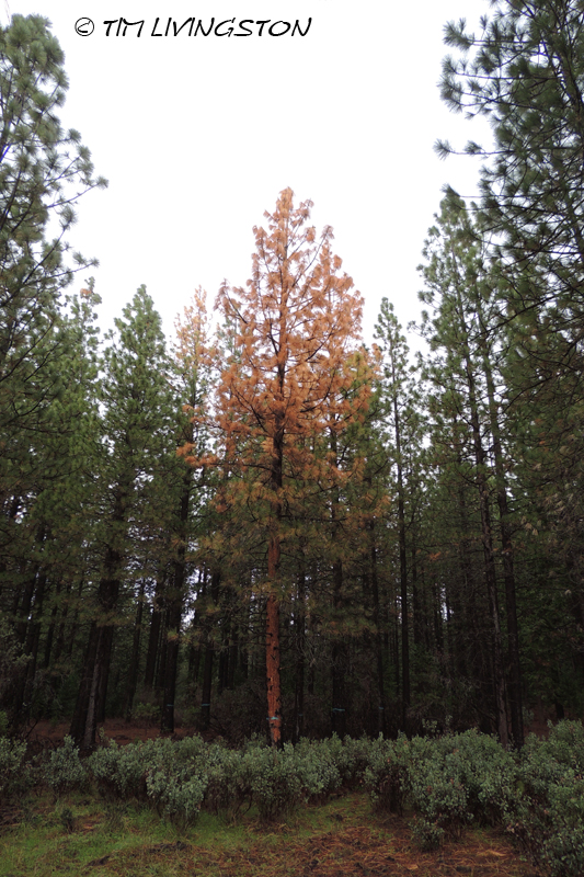 salvage timber, bark beetles, forestry