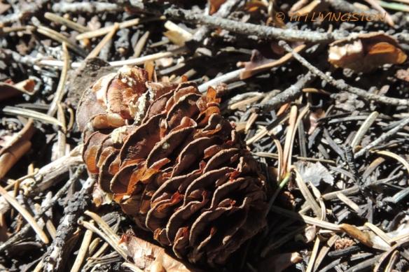 Cones, true fir, white fir, fir cones